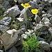 Papaver alpinum subsp. kerneri Hayek) Fedde<br />Papaveraceae<br /><br />Papavero di Kerner<br />Pavot de Kerner<br />Kerners Alpen-Mohn