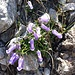 Campanula zoysi Wulfen<br />Campanulaceae<br /><br />Campanula di Zoys<br />Campanule de Zoys<br />Zoys Glockchenblume
