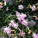 Dianthus hyssopifolius L.<br />Caryophillaceae<br /><br />Garofano di bosco<br />Oeillet de Montpellier<br />Montpellier-Nelke, Ysop-Nelke