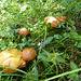 Schattige Plätzchen für Pilze