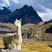 Immer wieder Lamas mit keckem Gesichtsausdruck.