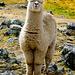 Dieses Alpaca stand plötzlich vor mir, mit verzückt geschlossenen Augen und Küssmund. Aber ich blieb standhaft.