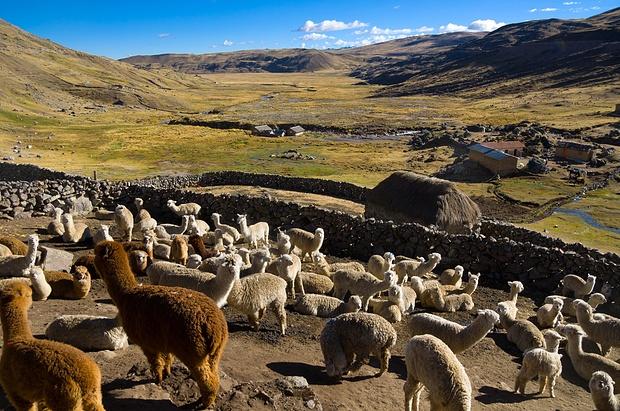Lamas und Alpacas