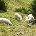 Auch eine Schafherde begegnet uns