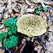 So mancher Pilz steht direkt am Wegrand