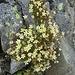 """Der """"Gipfel-Steinbrech"""": der unverwüstliche Moos-Steinbrech (Saxifraga bryoides) fast direkt auf dem Gipfel."""