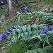 Willow gentian / Schwalbenwurz-Enzian / Gentiana asclepiadea in the forest.