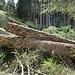 Holzschlag am Wanderweg
