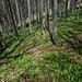 Wälder voller Bärlauch