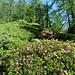 il sentiero sale tra rododendri
