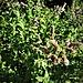 Mentha longifolia (L.) Huds.<br />Lamiaceae<br /><br />Menta selvatica<br />Menthe à longues feuilles<br />Ross-Minze, Langblättrige Minze