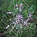 Allium carinatum subsp. carinatum Amaryllidaceae  Aglio delle streghe Ail caréné Gekielter Lauch