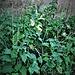 Lamium album L.<br />lamiaceae<br /><br />Falsa ortica bianca<br />Lamier blanc<br />Weisse Taubnessel