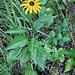 Rudbeckia hirta L.<br />Asteraceae<br /><br />Rudbeckia scabra<br />Rudbeckie hérissée<br />Rauer Sonnenhut, Raue Rudbeckie