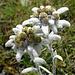 Zahlreiche Edelweisse blühten am Gipfel.