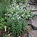 Adenophora lilifolia (L.) A. DC.<br />Campanulaceae<br /><br />Campanella odorosa<br />Adénophore à feuilles de lys<br />Drüsenglocke