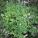 Echinops exaltatus Schrad.<br />Asteracea<br /><br />Cardo-pallottola slanciato<br />Echinops élancé<br />Ungarische Kugeldistel, Hohe Kugeldistel<br />