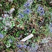 Eryngium amethystinum L.<br />Apiaceae<br /><br />Calcetrappola ametistina<br />Panicaut amethystine<br /><br />