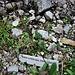Papaver alpinum subsp. ernesti-mayeri<br />Papaveraceae<br /><br />Papavero alpino<br />Pavot des Alpes<br />Alpen-Mohn
