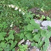 Campanula alliarifolia Willd.<br />Campanulaceae<br /><br />Campanula alliarifolia<br />Campanule à feuilles d'alliaire<br />Knoblauchrauken-Glockenblume