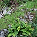 Veratrum nigrum L.<br />Melanthiaceae<br /><br />Veratro nero<br />Vératre noir<br />Schwarzer Germer