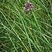 Allium carinatum subsp. carinatum<br />Amaryllidaceae<br /><br />Aglio delle streghe<br />Ail caréné<br />Gekielter Lauch