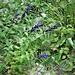 Gentiana asclepliadea Gentianaceae  Genziana asclepiadeae Gentiane à feuilles d'asclépiade Schwalbenwurz-Enzian