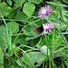 Una farfalla del genere Erebia.