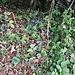 Il sottobosco è tappezzato da migliaia di ciclamini in fiore.<br /><br /> Cyclamen purpurascens Mill.<br />Primulaceae<br /><br />Ciclamino delle Alpi<br />Cyclamen d'Europe<br />Europäisches Alpenvelichen, Gemeine Ziklame, Erdscheibe