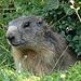 Ein besonders neugieriges Murmeltier liess uns bis gut 4 Meter heran.