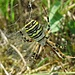 Update 17.08.18<br />Heute hat die Wespenspinne in meinem Biotop einen Heuhüpfer erbeutet. Tut mir schon sehr leid für den armen Heuhüpfer, aber er gehört eben in einer Wiese zu den bevorzugten Beutetieren dieser Spinne.<br /><br />Oggi il ragno Argiope bruennichi nel mio biotopo ha catturato una cavalletta. Mi dispiace veramante per la povera cavalletta, ma in un prato è la preda preferita di questo ragno.<br /><br />