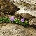Campanula raineri <br />Descrizione: è una pianta non più alta di 5-10 cm. Ha un rizoma strisciante e legnoso ed un fusto prostrato ascendente. Le foglie sono tutte intere e pelose; quelle basali sono oblunghe-spatolate con <br />un corto picciolo, le medie leggermente ellittiche, crenate e dentate superiormente. I fiori sono eretti <br />con la corolla imbutiforme, allargata sin dalla base, molto grandi rispetto alla taglia dell'intera <br />pianta, di colore azzurro chiaro in fiore da luglio a settembre. Possiede un calice a lobi lanceolati e <br />dentati.  <br />La fioritura, tra luglio e agosto, è spettacolare perché diverse piante assembrandosi in breve spazio <br />possono portare fino a 20-25 fiori.  <br />