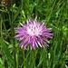Wiesen-Flockenblume, Centaurea jacea