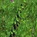 Fruchtstand der Sumpf-Stendelwurz, Epipactis palustris, frutti