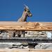 Wie bald auch ich aus dem letzten Loch pfeifende, den Schutz der Capanna Gnifetti aufsuchende Steingeiss (Foto vom 1.10.2011)