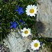 Zunehmende Blumenvielfalt beim Abstieg: Enziane und Margeriten