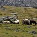 in Ermangelung  von Schatten spendenden Bäumen suchen Schafe  Schutz hintre Felsen