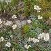 Antennaria dioica (Gemeines Katzenpfötchen) mit männlichen (weissen) Blüten