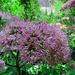 Bei P.1752 kommt man in einen wunderbaren Waldabschnitt mit Grauem Alpendost...