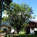 ein wunderschöner Baum, unten sogar mit natürlicher Sitzfläche