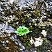 Saxifraga rotundifolia L.<br />Saxifragaceae<br /><br />Sasifraga a foglie rotonde<br />Saxifrage à feuille rondes<br />Rundblättriger Steinbrech