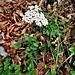 Achillea millefolium aggr.<br />Asteraceae<br /><br />Millefoglio montano<br />Achillée millefeulle<br />Wiesen-Schafgarbe