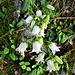 Campanula barbata L. var. alba<br />Campanulaceae<br /><br />Campanula barbata<br />Campanule barbue<br />Bärtige Glockenblume