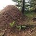 der Nosshalden-Grat könnte auch Ameisengrat genannt werden, im oberen Teil vom Grat  hatte es mindestens zehn solche Ameisenhaufen dem Grat entlang.