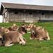 bei der Alp in Grossbetten sah ich diese fotogenen Kühe beim Faulenzen.