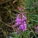 Das Schmalblättrige Weidenröschen (Epilobium angustifolium) ist eine weit verbreitete Art zirkumpolare Pflanzenart. In den höheren Alpen findet man sie ebenfalls als Relikt der letzten Eiszeit.