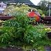 Riesen-Bärenklau (Heracleum mantegazzianum): Die invasive Pflanze hat es schon bis weit in Norden über den Polarkreis geschafft auszubreiten, so wie hier in Narvik.