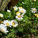 Leucanthemopsis (Chrysanthemum) alpina (Alpenmargerite)
