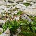 Saxifraga stellaris (Sternblütiger Steinbrech)