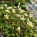 Saxifrage bryoídes (Moosartiger Steinbrech)